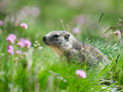 Young marmot in flowers meadow